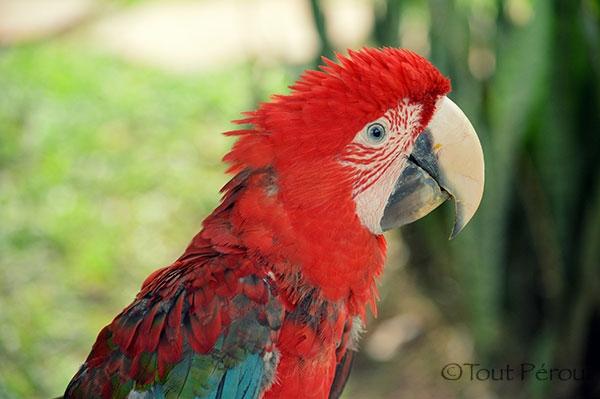 Ara Amazonie Puerto
