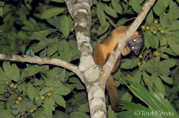 Animaux Amazonie Nuit Amazonie Pérou Forum Blog Tout Pérou