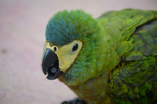 Perruche Verte Amazonie Lac Sandoval Réserve Tambopata Forum Blog Tout Pérou