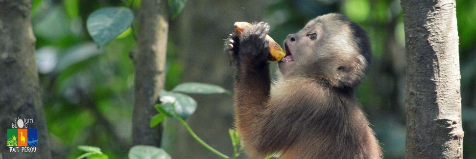 Singe d'Amazonie au Pérou