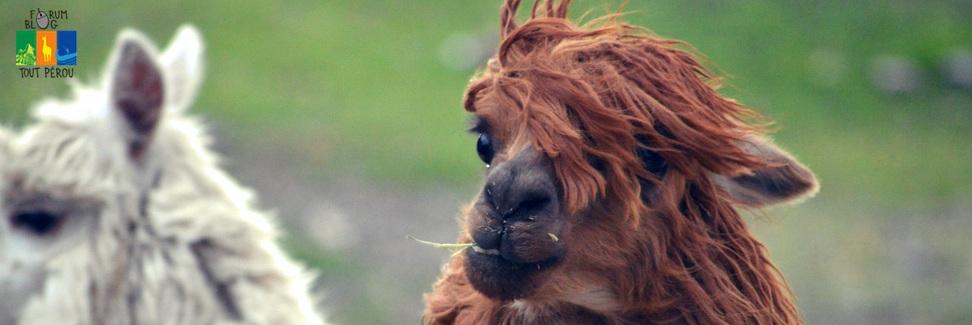 Les lamas du Pérou, une rencontre unique