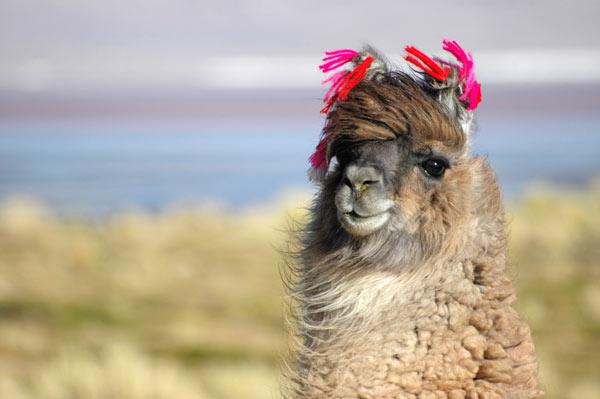 Grâce à ce magnifique bonnet d\u0027inspiration péruvienne, remerciez votre  félin attentionné.