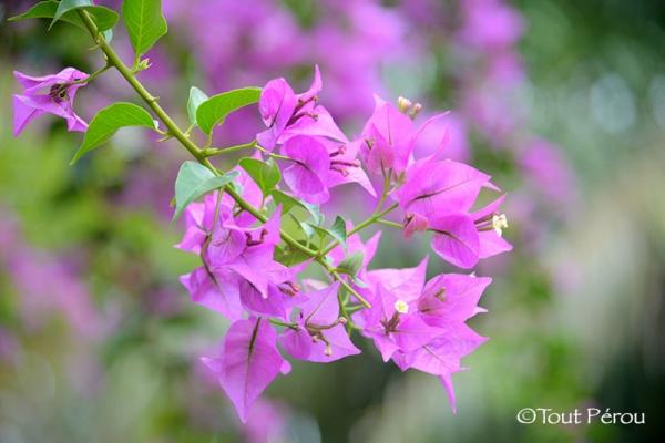 Flore Amazonie Pérou